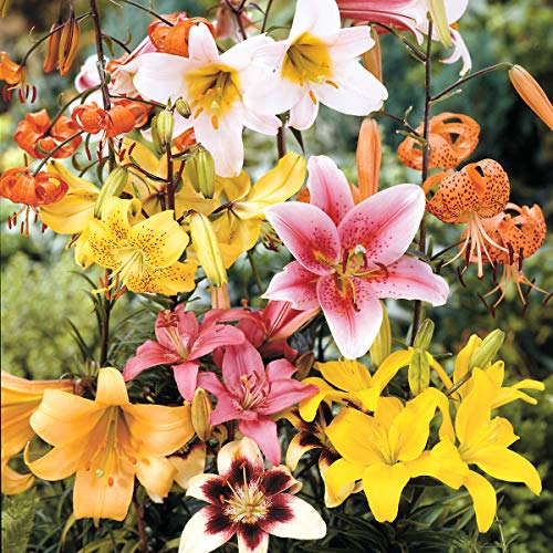 Burpee All All Summer' Lily Mix 12 Flowering Bulbs, 14-16 cm Circumference